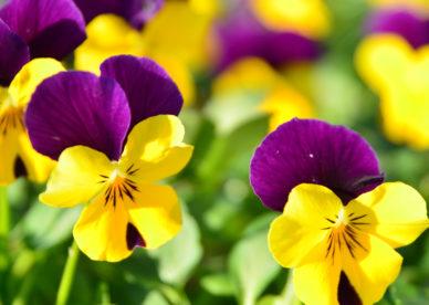 أجمل مجموعة صور خلفيات ورد وزهور من موقع خلفيات فور يو تحميل مجاني
